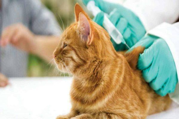 Bệnh viêm phúc mạc đe dọa đến tính mạng của mèo