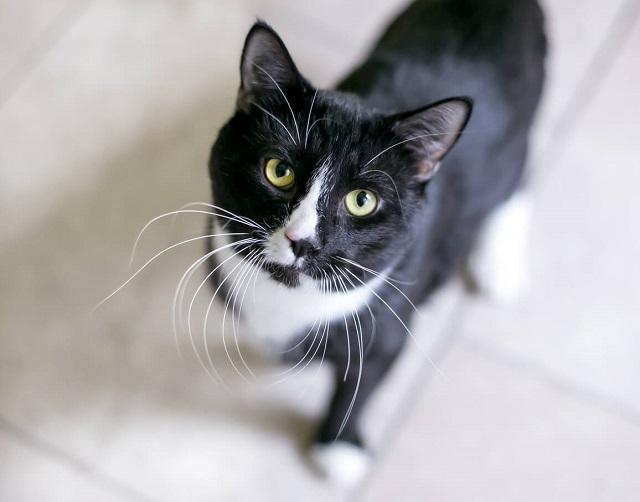 Tuxedo xuất hiện ở đa dạng giống mèo khác nhau