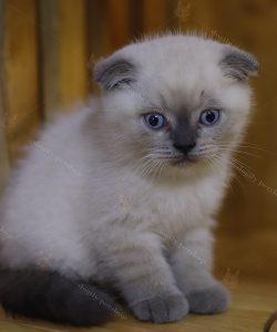 mèo anh lông ngắn màu hyma con 2 tháng tuổi