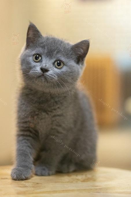 Một bé mèo Anh lông ngắn tai cụp màu xám xanh 2 tháng tuổi được nhân giống tại trại mèo Dogily Cattery.