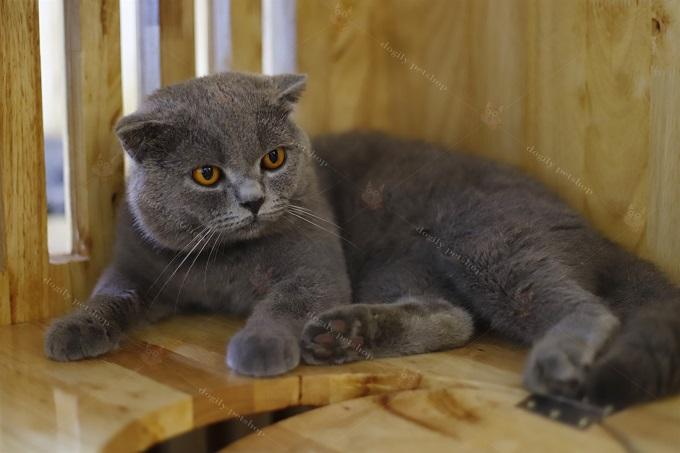 Chanh - Chú mèo British Shorthair đực giống nhập khẩu của trại Dogily Cattery. Đã phối giống và cho ra đời nhiều đàn mèo con đẹp và chất lượng.