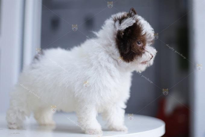 Bạn nên cắt đuôi cho chó Poodle ngay từ khi mới đẻ (sơ sinh) đối với dòng Tiny, Teacup Poodle. Lớn lên nhìn các bé sẽ ngộ ngĩnh và đáng yêu hơn rất nhiều.