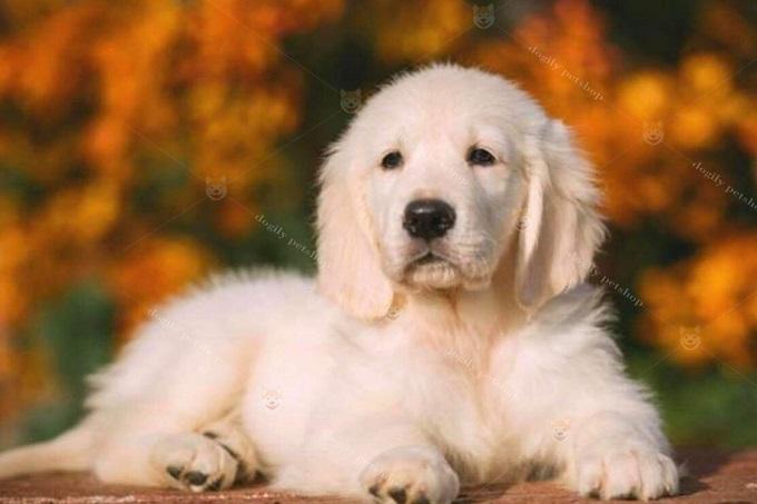 Là nhà nhập khẩu chó mèo, thú cưng lớn nhất tại Việt Nam hiện nay. Bạn có thể hoàn toàn yên tâm khi oder mua chó Gâu Đần nhập khẩu tại Dogily Petshop.