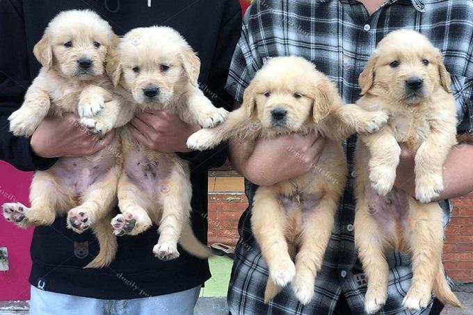 Mặc dù có giá cao hơn, nhưng khi mua chó Gâu Đần sinh tại Việt Nam. bạn có thể an tâm về nguồn gốc, sức khỏe của cún con.