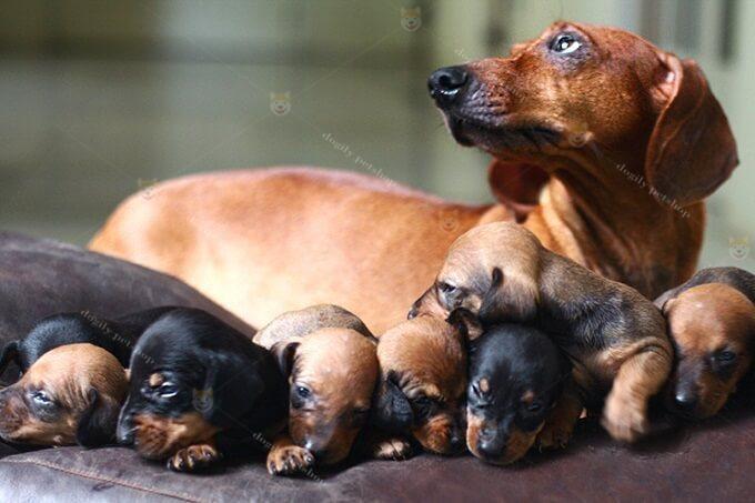 Chó Dachshund mẹ bên đàn 8 con mới đẻ.
