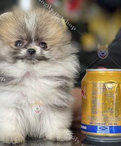 Chó Phốc sóc Teacup Party 2 tháng tuổi