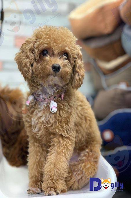 Một bé Poodle màu cafe sữa vừa được tắm, sấy, chải lông tại Dogily Spa & Grooming.