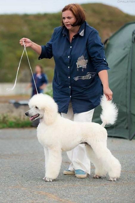 Một chú chó Poodle Standard thuần chủng đẳng cấp tại châu Âu. Trông thật khác biệt với các bé Toy, Tiny, Teacup thường thấy ở Việt Nam phải không các bạn?