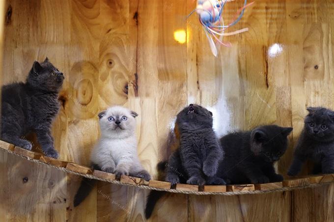 Một đàn mèo Aln màu xám xanh và hyma được nhân giống tại trại mèo Dogily Cattery.