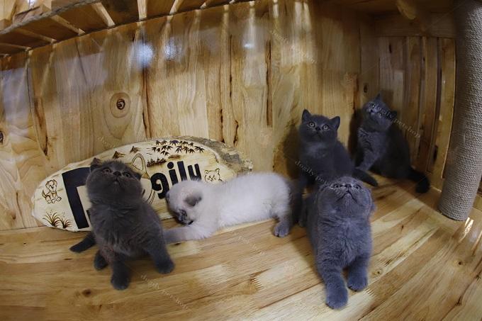 Một đàn mèo con 2 tháng tuổi tại trong điều kiện chăm sóc tiêu chuẩn tại trại mèo Dogily Cattery.