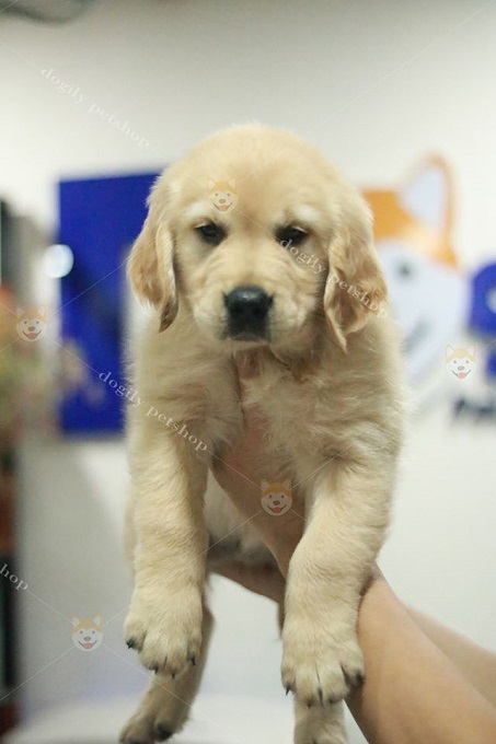 Giá bán chó Gâu Đần phụ thuộc vào nhiều yếu tố. Trong đó quan trọng nhất là nguồn gốc, xuất xứ.