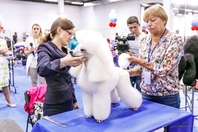 Cắt tỉa lông cho Standard Poodle trong một cuộc thi Grooming tại châu Âu.