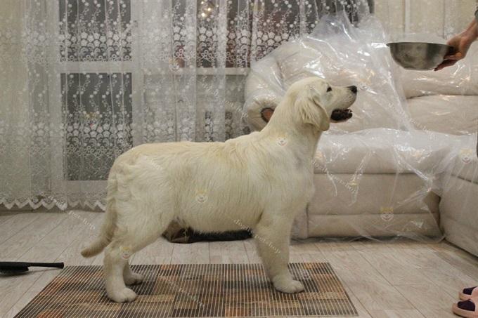 Tại châu Âu, Chó Golden Retriever thường được huấn luyện tập Dogshow từ rất sớm, khoảng 2-3 tháng tuổi.
