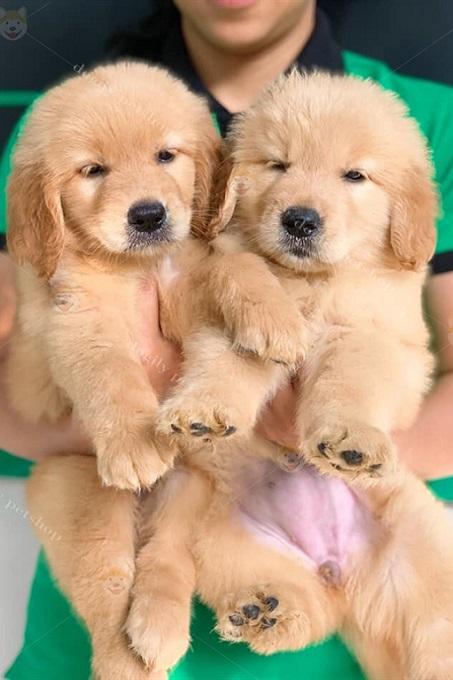 Tại Việt Nam, chó Gâu Đần màu vàng đậm được nhiều người ưa chuộng hơn màu kem;