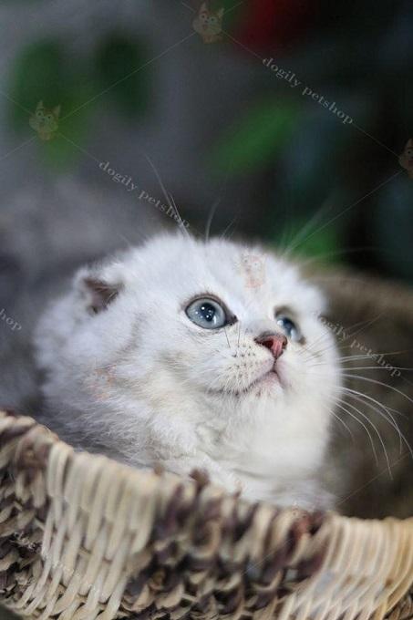 Tất cả mèo Aln con bán ra đều được chọn lọc kỹ nhiều thế hệ. Để cho ra đời nhiều đàn mèo con chất lượng, bụ bẫm và khỏe mạnh.