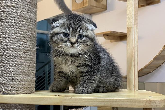 Mèo anh lông ngắn tai cụp sát triple folde màu tabby classic.