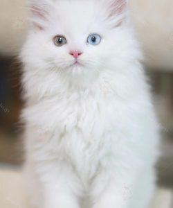 Mèo Anh lông dài trắng hai màu mắt