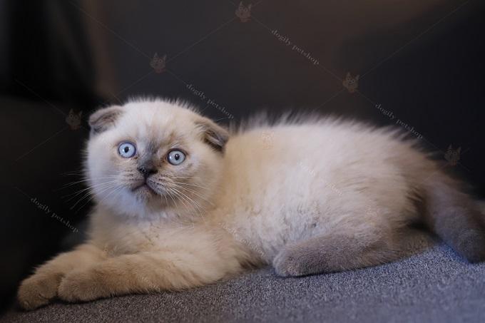 Mèo Aln mắt xanh màu hyma bán tại Dogily Petshop giá từ 12-14 triệu 1 bé.