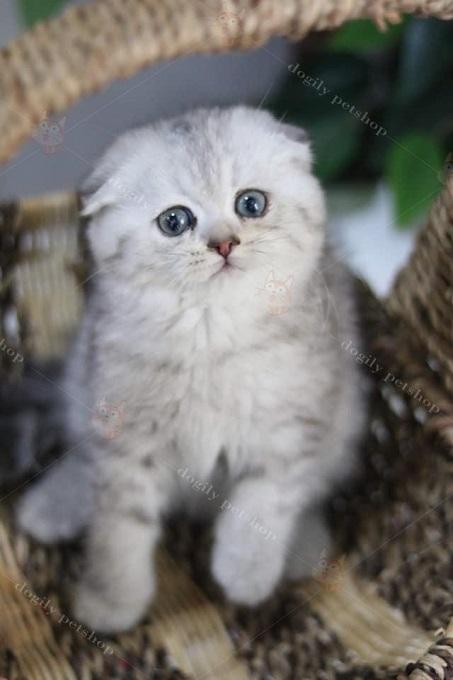 Ảnh: bé mèo Anh lông ngắn màu Silver tai cụp sát 2  tháng tuổi cực cute bán tại hệ thống Dogily Petshop.