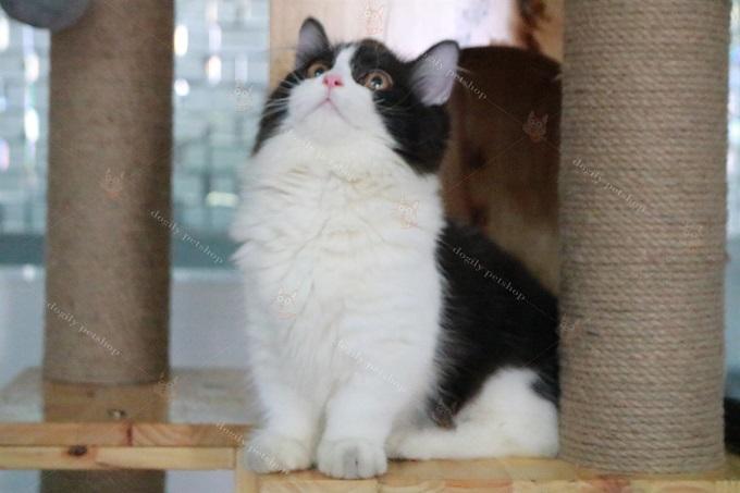 Bé mèo Aln chân ngắn màu Tuxedo bố mẹ nhập, mặt cân cực đẹp tại Dogily Pet Shop Ba Tháng Hai, quận 10, Tphcm.