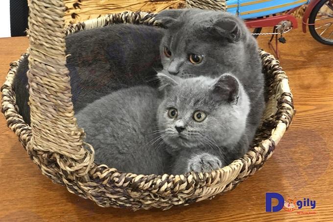 Hai bé mèo Anh lông ngắn xám xanh 2 và 5 tháng tuổi được bán tại Dogily Pet Shop. Xám xanh (blue) là màu phổ biến nhất của British Shorthair.