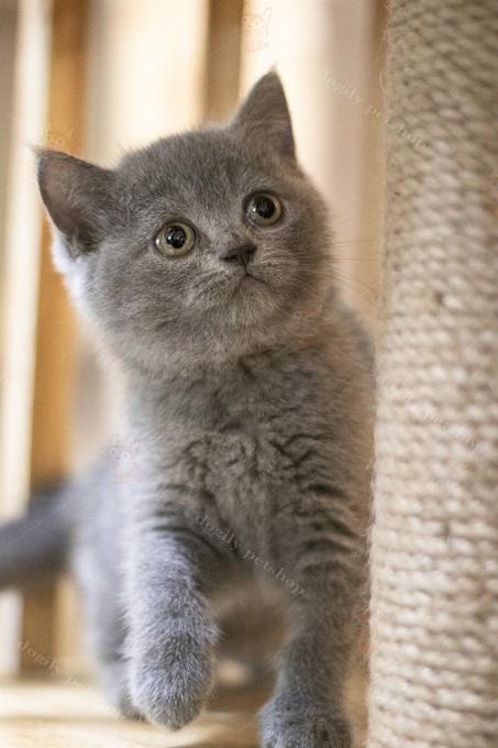 Mèo Anh lông ngắn màu xám xanh rất được ưa chuộng. Hình 1 bé mèo Aln xx 2 tháng tuổi tai thẳng sinh tại Việt Nam ở cửa hàng Dogily Petshop Quận 1, thành phố Hcm.