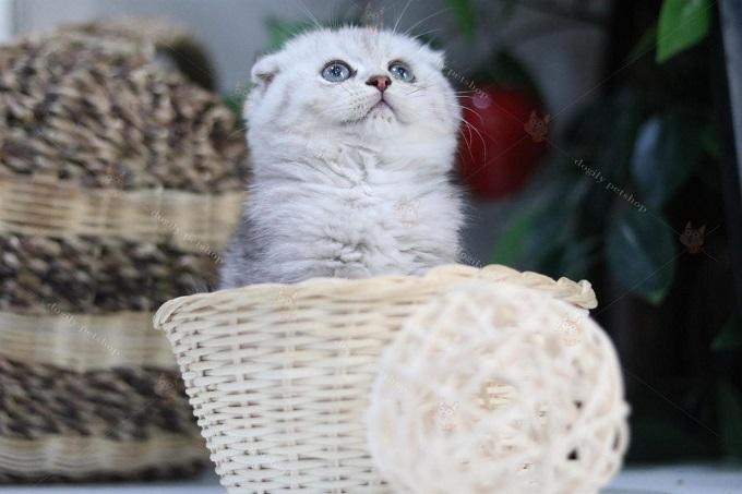 Một bé mèo Aln màu Silver tai cụp lửng đẹp bán tại cửa hàng Dogily Pet Shop.