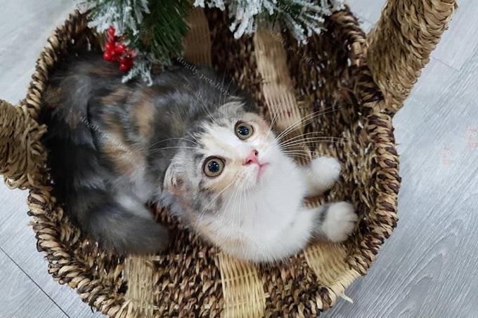Bé mèo tam thể cái chân ngắn, tai cụp cực hiếm được nhân giống tại trang trại Dogily Cattery Đà Lạt.