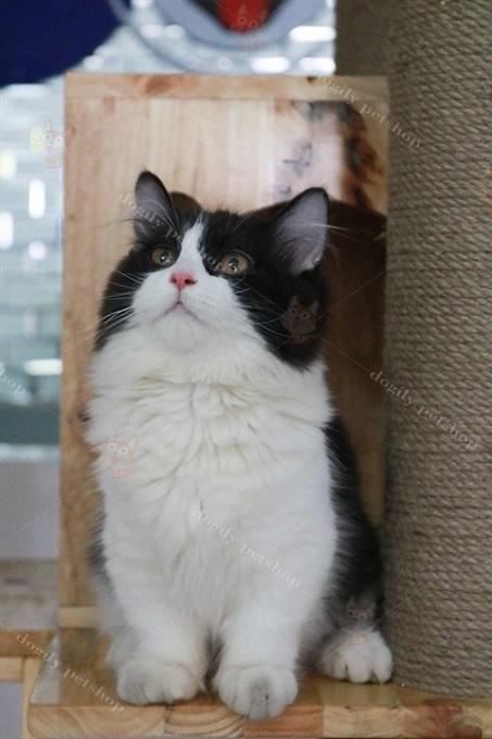 Mèo Munchkin Tuxedo lông dài