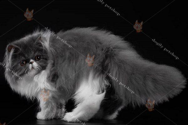 Khi chăm sóc mèo Ba Tư, quan trọng nhất là giữ cho bộ lông luông mượt mà, không bị xơ rối.