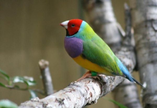 Chim Bảy màu