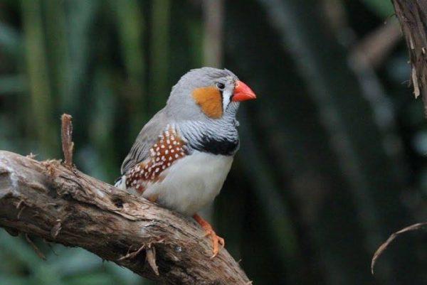 Chim Manh Manh Bông