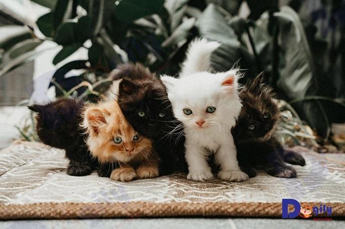 Ảnh: Một đàn mèo Anh lông dài Ald đủ màu trắng, vàng, đen.., bán tại Dogily Pet Shop Phú Nhuận, Sài Gòn.