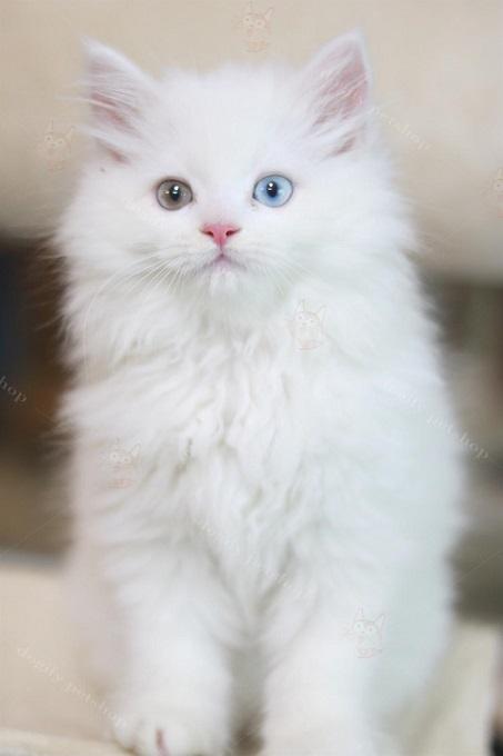 Mèo Anh lông dài trắng hai màu mắt có giá khoảng 15-18 triệu đồng tại Dogily Cattery.