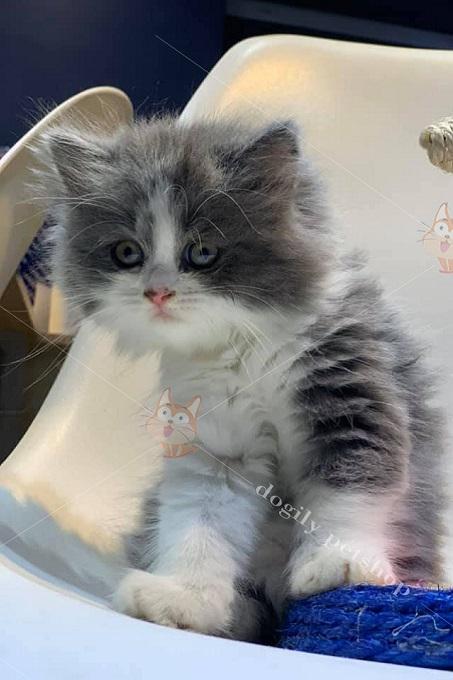 Mèo Anh lông dài màu bicolor tại Dogily Cattery giá từ 9-11 triệu đồng 1 con.