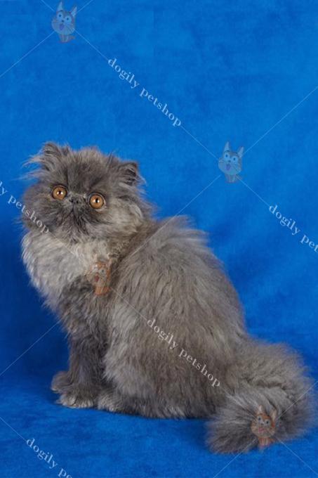 Giá mèo Ba Tư 34 màu xám xanh dao động từ 7 đến 9 triệu đồng 1 con.