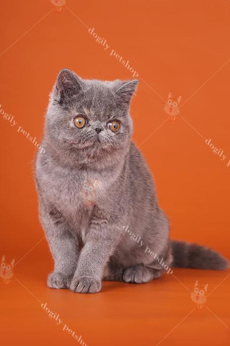 Giá mèo Exotic (34 lông ngắn) tại Việt Nam tương đương với mèo Ba Tư truyền thống.