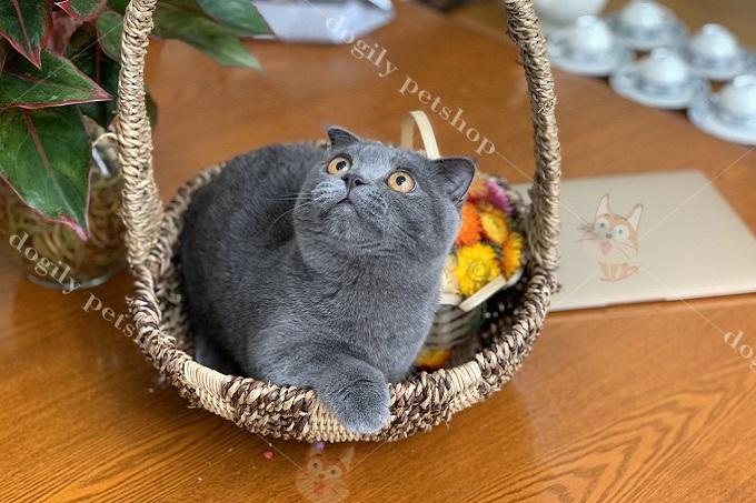 Giá mèo tai cụp chân ngắn đẹp, thuần chủng trên thị trường từ 20 triệu trở lên.