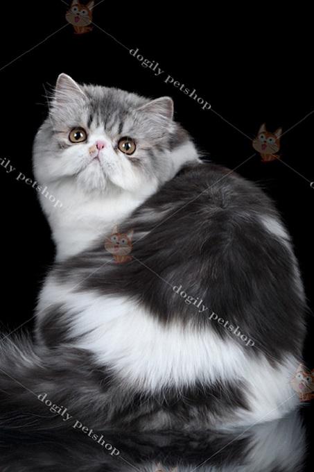 Hình nền mèo Ba Tư