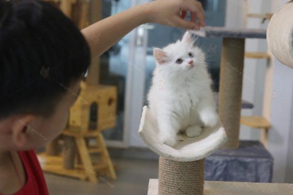 Mèo Anh lông dài rất thông minh, ngoan và dễ huấn luyện.