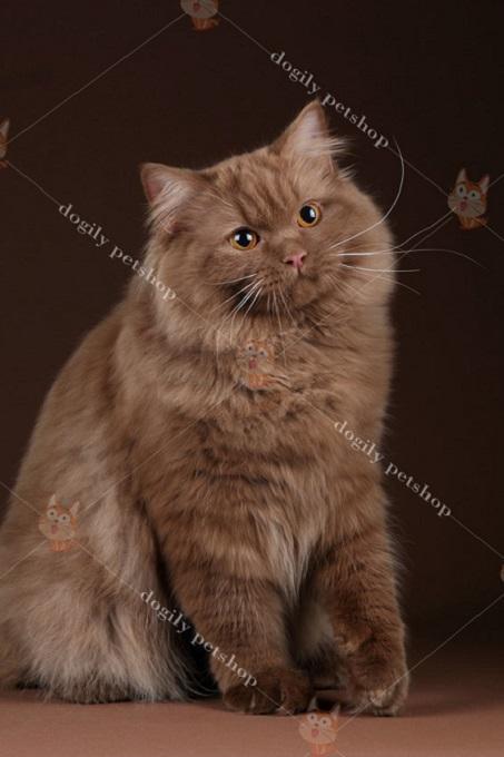 Mèo Anh lông dài có nguồn gốc từ đâu?