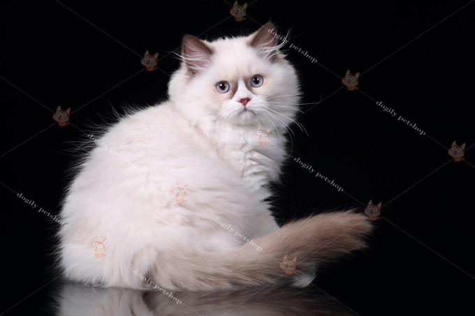 Mèo Ald màu Hyma thường có mắt màu xanh dương.