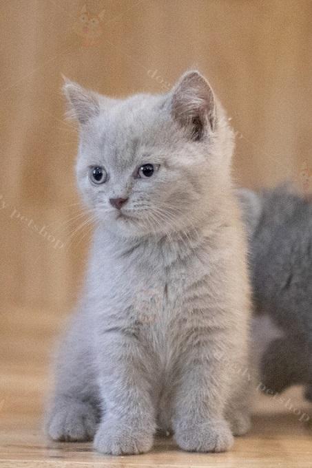 Một bé mèo Aln màu lilac của trại mèo Dogily Cattery.