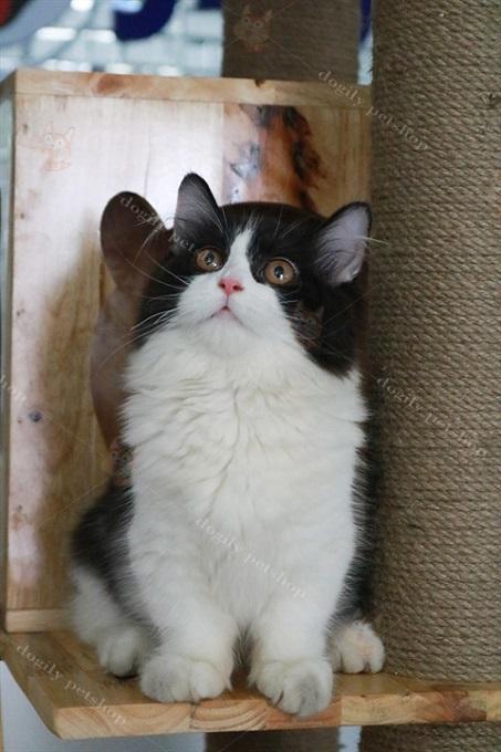 Mèo Aln chân ngắn màu Tuxedo đẹp có giá từ 30-35 triệu đồng 1 bé.