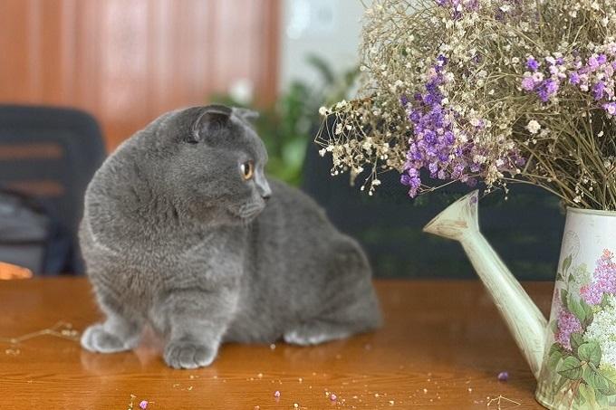 Mèo chân ngắn tai cụp xám xanh.