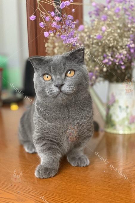 Mèo xám xanh chân ngắn tai cụp có giá từ 20-25 triệu.