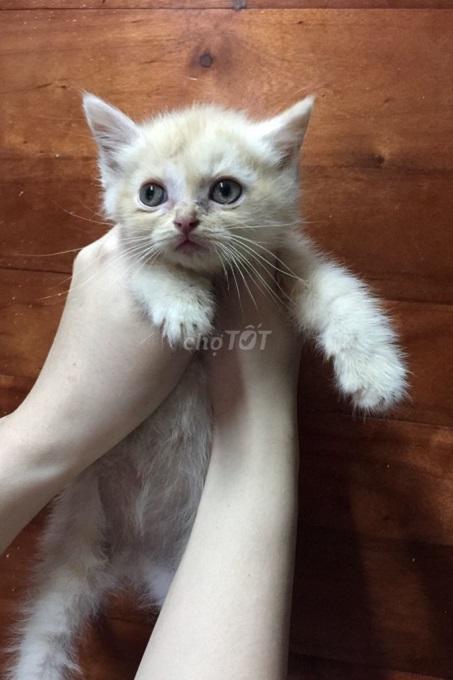 Mèo Anh lông ngắn lai ta có những đặc điểm gì? Hãy cùng Dogily Petshop tìm hiểu trong bài viết này nhé!