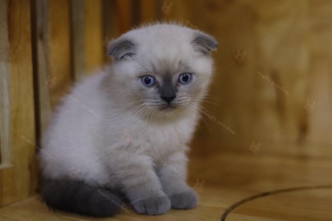 Một bé mèo Hyma Bicolor khá đẹp và lạ tại Dogily Cattery.