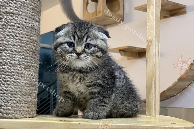 Một bé mèo Aln tai cụp sát màu tabby bán tại Dogily Pets Shop Tphcm.