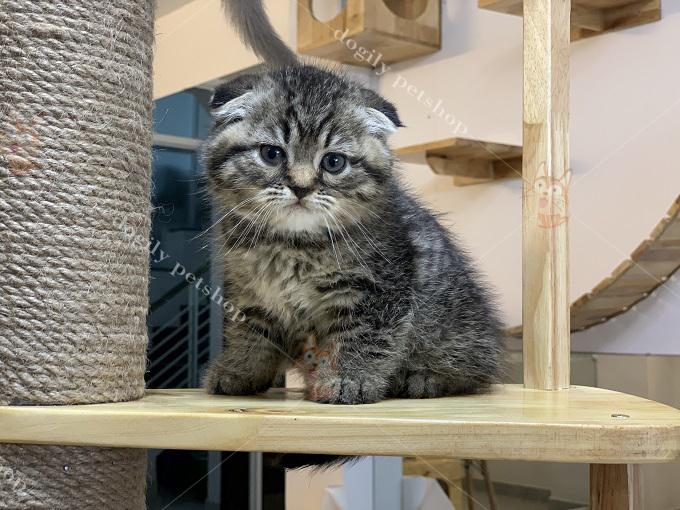 Một bé mèo Anh lông ngắn tai cụp màu tabby 2 tháng tuổi tại trại mèo Dogily Cattery